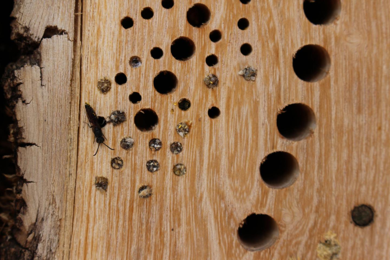 Hausgarten-21  Wildbienen