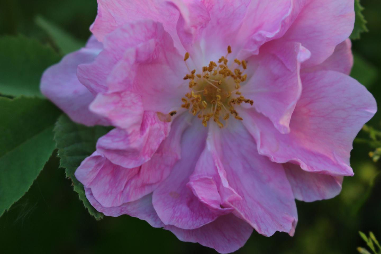 04-Slider-Apotheker-Rose-Rosa-gallica-Officinalis