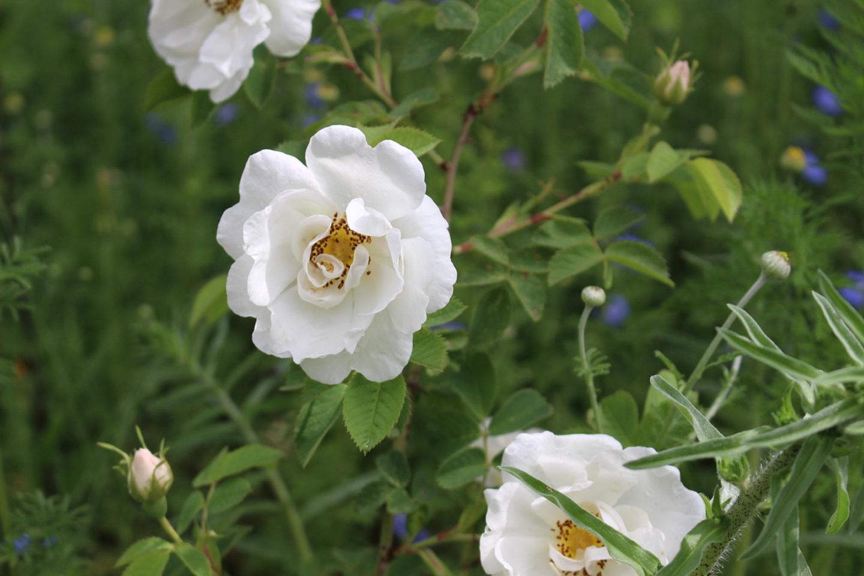 06-Slider-Weisse-Rose-Rosa-alba-Semiplena