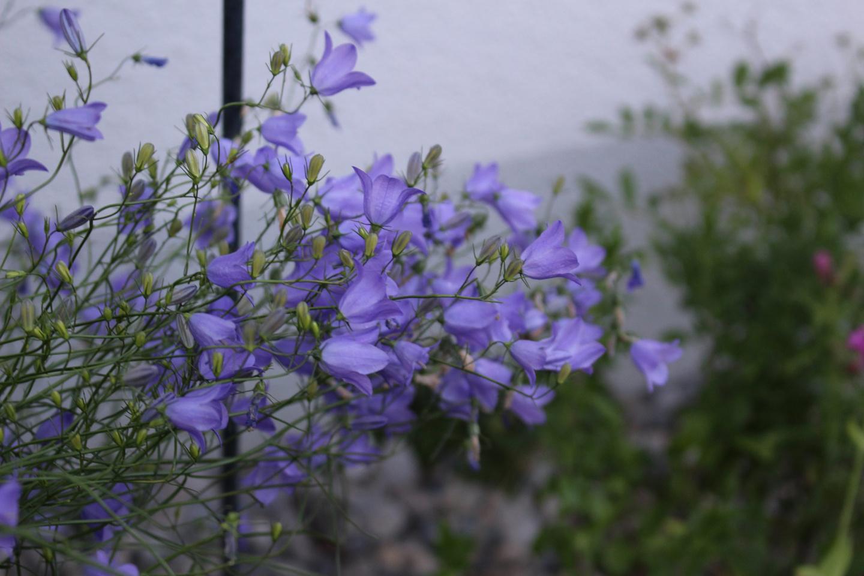 11-Slider-Rundblaettrige-Glockenblume-Campanula-rotundifolia