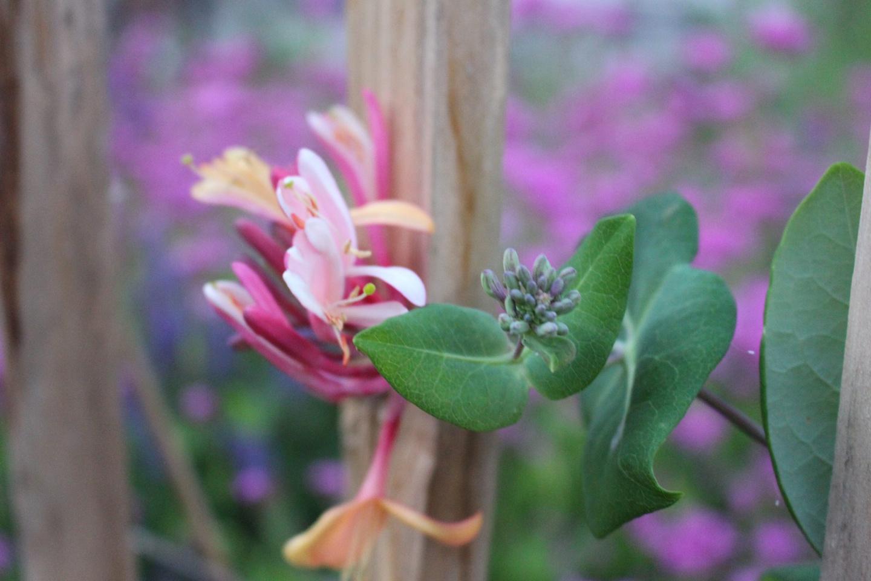 18-Slider-Gartengeissblatt-Lonicera-caprifolium