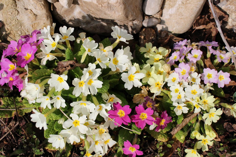 24-Slider-Karnevalsprimel-Primula-vulgaris-ssp-sibthorpii
