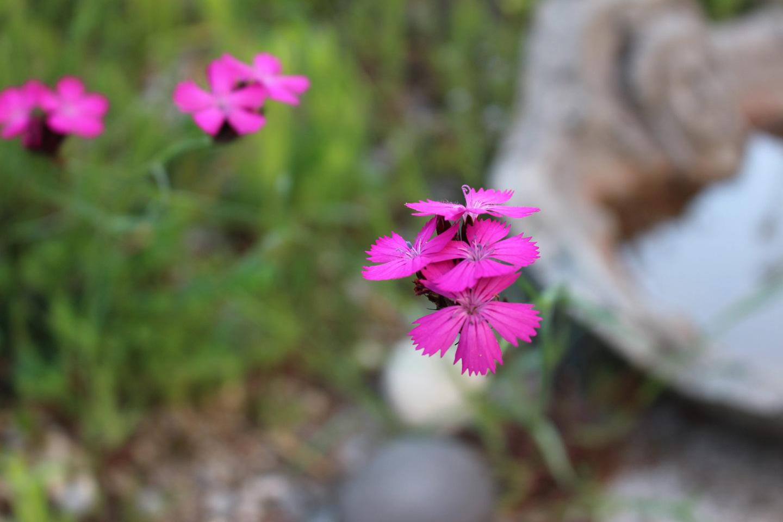28-Slider-Karthaeusernelke-Dianthus-cartusianorum